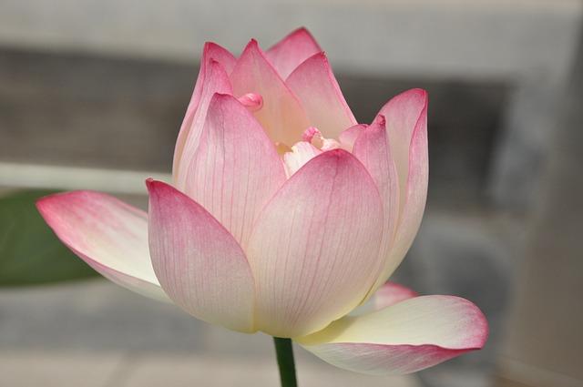 hinh hoa sen dep nhat the gioi 3