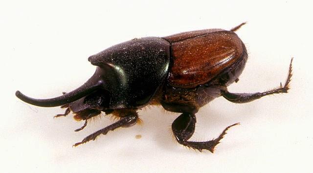 Dung beetle - Onthophagus nigriventris