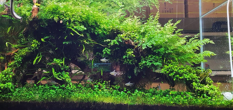 Dương xỉ châu phi trong hồ thủy sinh của bạn Lê Nguyễn