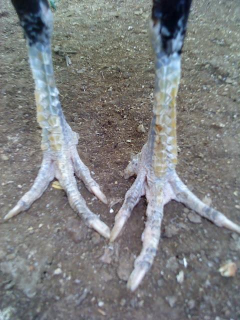 kaki indukan 02