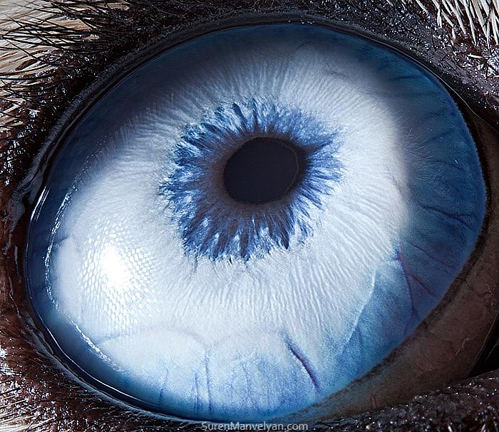 Husky Dog Eyes Close Up Photograph