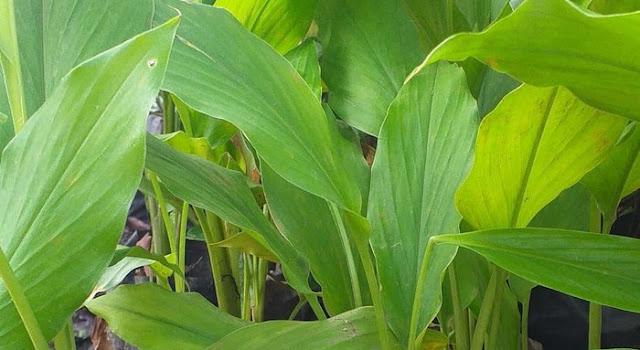 Manfaat daun kunyit untuk tubuh