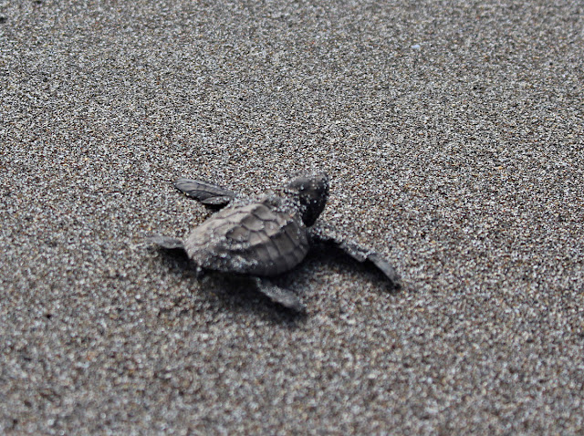 A baby turtle crawls to the sea