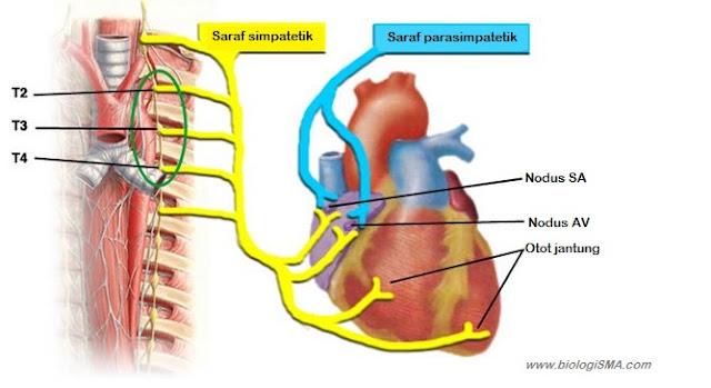 saraf jantung