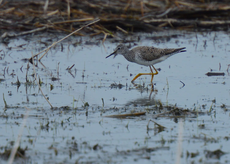 Lesser Yellowlegs (Tringa flavipes)