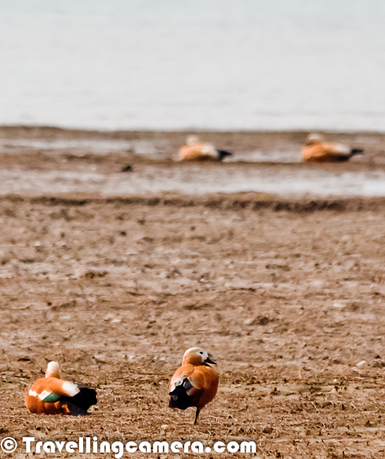 First encounter with Ruddy Shelduck on reaching Pong Dam ...