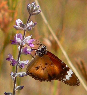 Lesser Wanderer butterfly Danaus petilia, Australia. Photo by Loire Valley Time Travel.