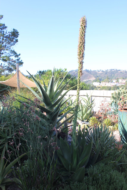 Agave chiapensis expended flower stalk