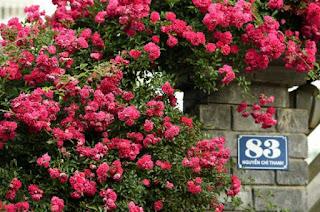 hoa hồng leo đỏ sapa ra hoa vào mùa xuân