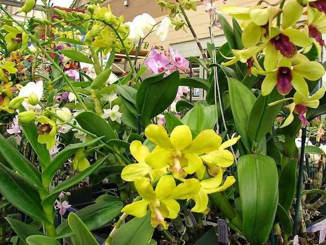 Yellow Dendrobium Flower