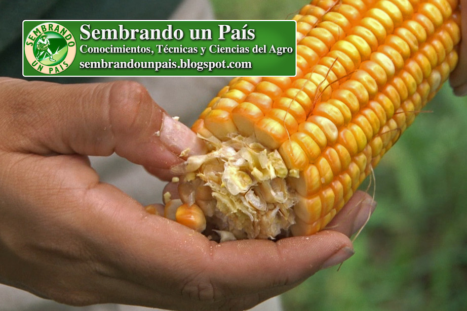obtención de semillas de maíz