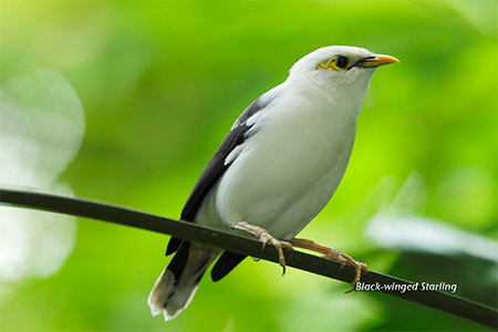 Daftar Harga Burung Jalak Putih Desember 2018 Update Tips Burung Ternakburung Serhamo Net