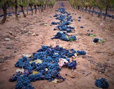 Crisi vino coronavirus vendemmia verde