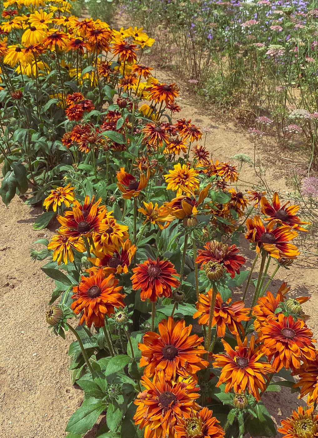 rudbeckia hirta orange,summer garden flowers, blooming flowers, summer flowers that bloom