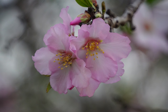 פרח עץ השקד
