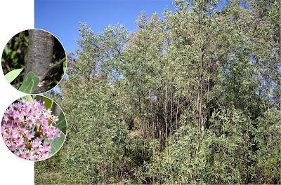 Aliso de río Tessaria integrifolia