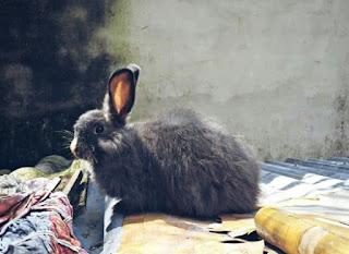 Jenis Kelinci Anggora Ciri Cirinya