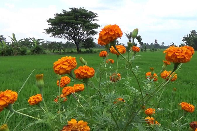 Dlium Marigold (Tagetes erecta)