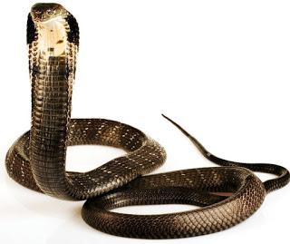 இராஜ நாகம் - கருநாகம் - King Cobra.