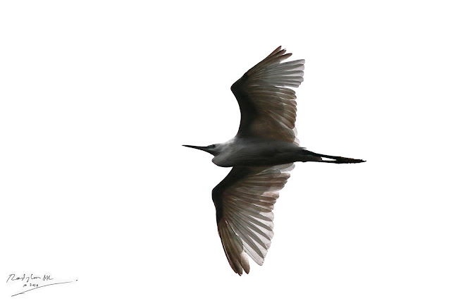 Little Egret fly pass over Sempam River, Raub Malaysia