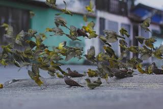 كيف تجعل طائر الكناري يغرد