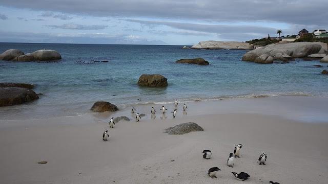 foto sekelompok penguin di tepi pantai Boulders Beach Afrika Selatan