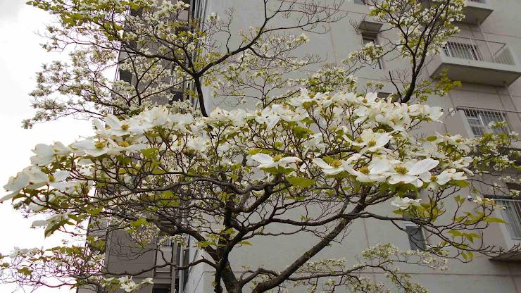 マンションの壁を背景に咲くハナミズキ