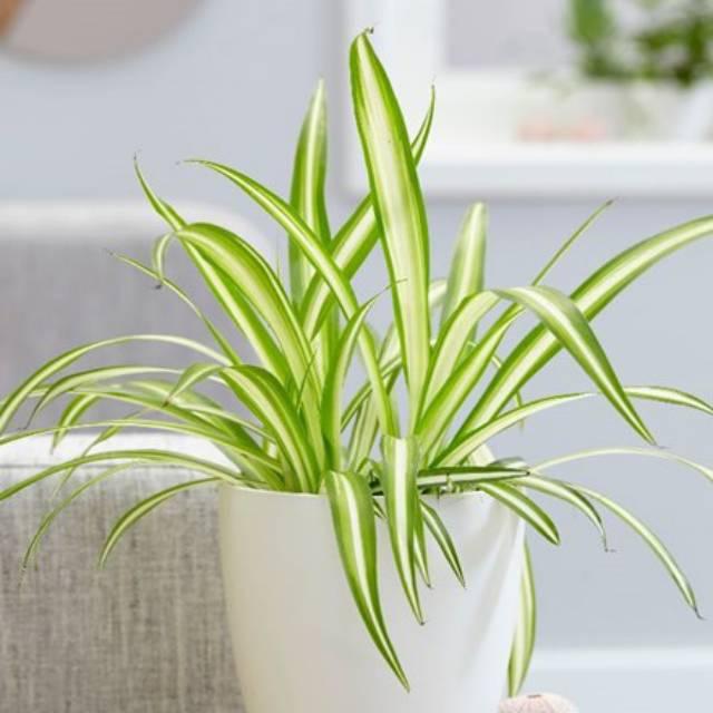 Tanaman pengusir lembap: spider plant