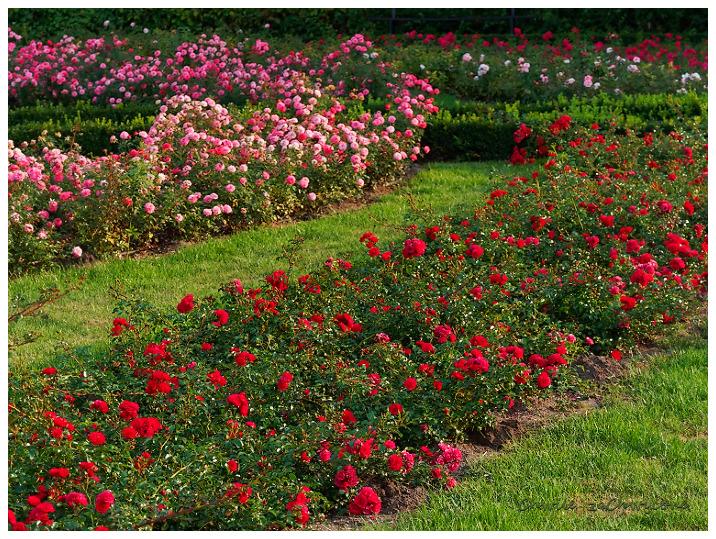 Ogród botaniczny UAM różanka