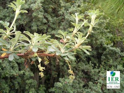 arboles tabaquillos y queñoas Queñoa (Polylepis crista-galli)