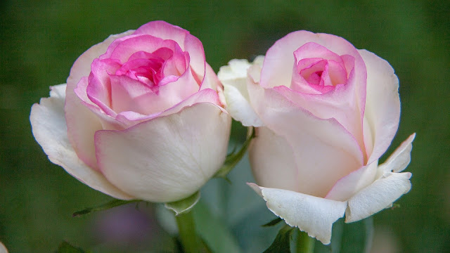 Pink White Roses with leaves HD Wallpaper