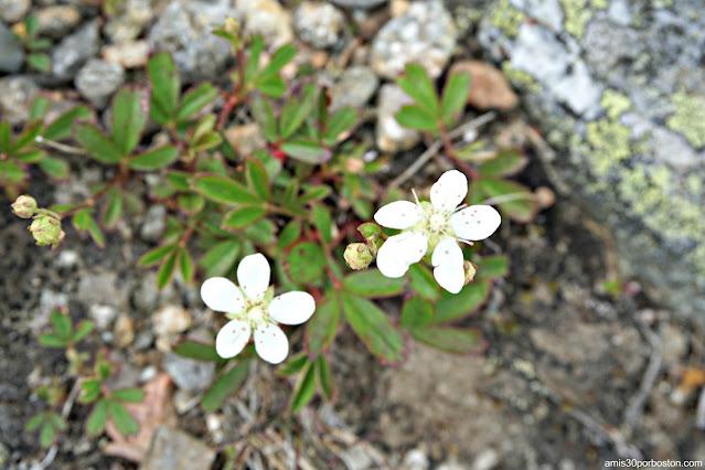 Flora de la Zona Alpina en Mount Washington