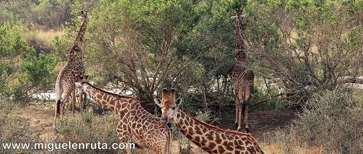 Organizando-un-safari-en-kruger