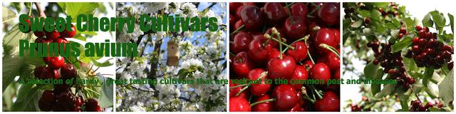 Kirschsorten für Waldgärten und Permakultur