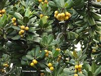 Ficus saussureana - Ho'omaluhia Botanical Garden, Kaneohe, HI