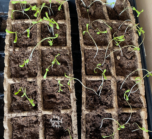 seedlings peat pots