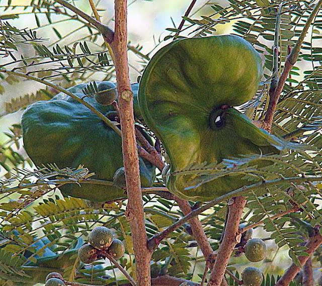 Sustitutivos del jabón: plantas con alto contenido en saponinas - Enterolobium cyclocarpum - Oreja de elefante