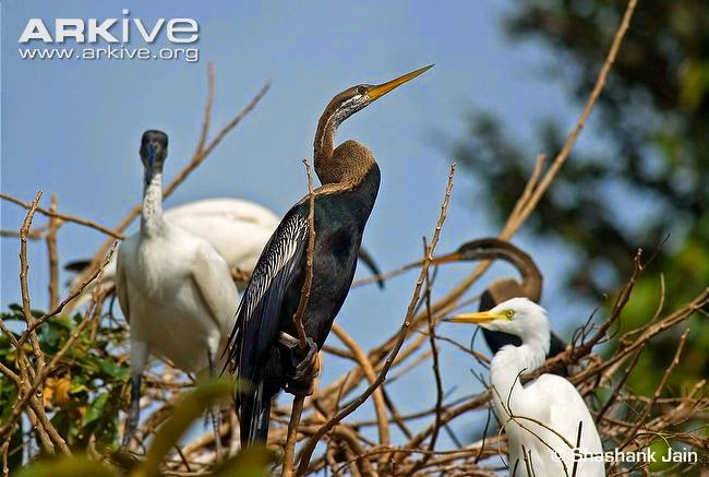 interactions between asian birds Oriental darter