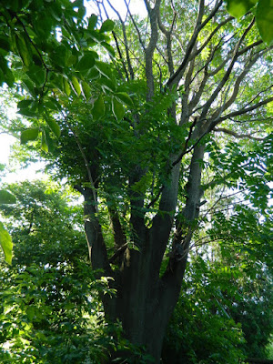 Tree of Heaven (Ailanthus altissima) in  an East York, Toronto Backyard