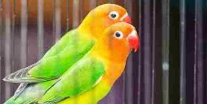 Ciri-Ciri Burung Lovebird Yang Siap Lomba