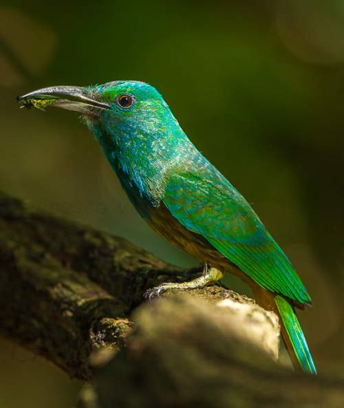 Indian birds - Photo of Blue-bearded bee-eater - Nyctyornis athertoni