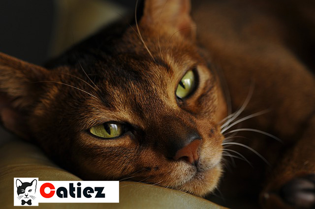 Abyssinian cat - all you  want to know about Abyssinian cat