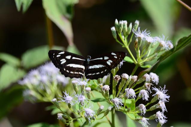 Phaedyma columella