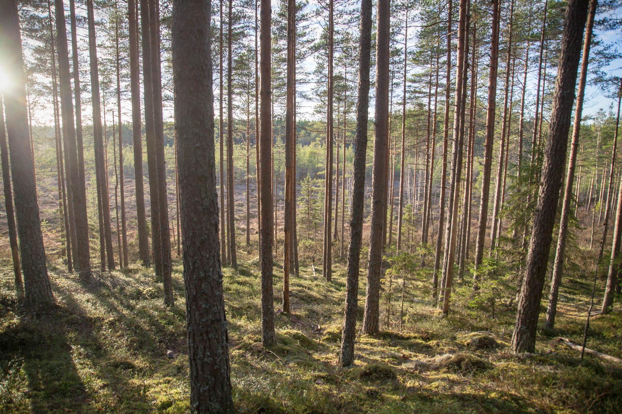 metsä auringonlasku