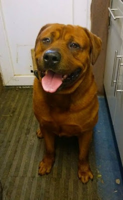 big real Red Rottweiler