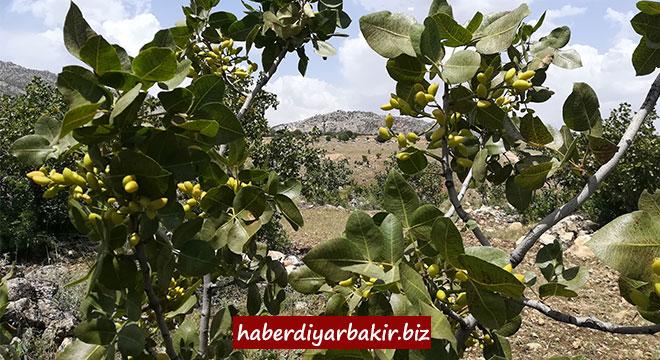 Diyarbakır Büyükşehir Belediyesi, 18 bin 842 meyve ağacını aşıladı