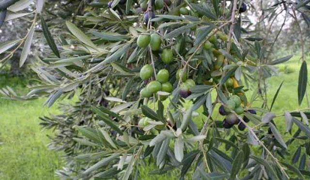Στην βουλή από τον Βελόπουλο το ενδιαφέρον Κινέζων να αγοράσουν εκτάσεις ελαιόδενδρων στην Αργολίδα
