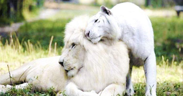 Leon Blanco, los animales mas caros del mundo.