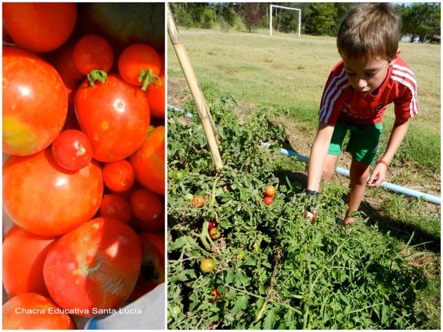 Tomates variados - Cosechando tomates cherry - Chacra Educativa Santa Lucía