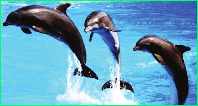materi pelajaran kelas 5 sd k13 tema 2 sistem pernapasan pada mamalia air atau lumba-lumba